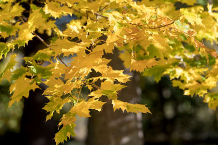 beaming: Golden coloured maple leaves in autumn