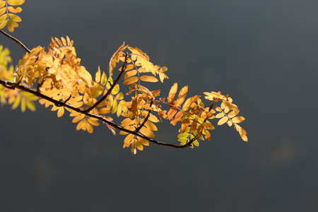 Golden coloured rowanberry leaves in autumn