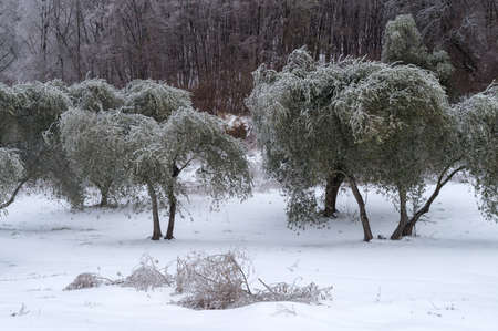 Ice covered olive grove after the freezing rain in Province of Imperia, Italy