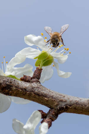 A bee collecting pollen from a cherry flower