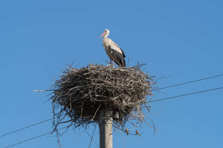 White Stork nest on top of electric pole in the Ukrainian village