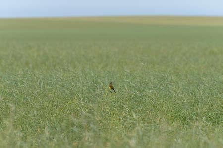 Black headed wagtail on field