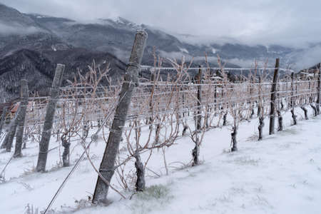Province of Imperia, Italy. Vineyard in winter