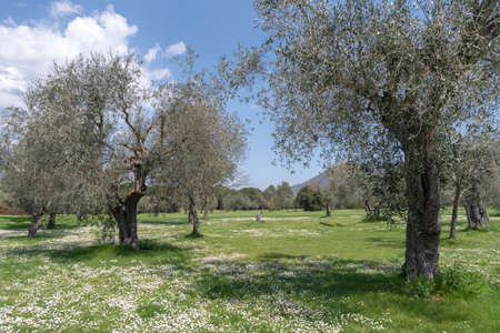 Province of Imperia, Italy. Olive orchard Stock fotó