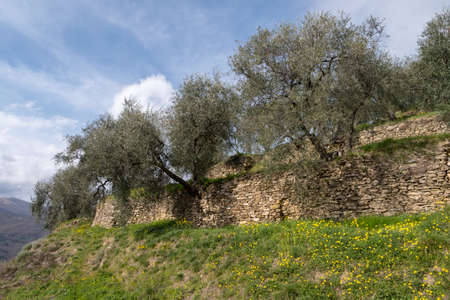 Terraced stone walls support olive trees on the hillside, Province of Imperia, Italy