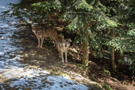 European grey wolves stands between trees in the forest Imagens