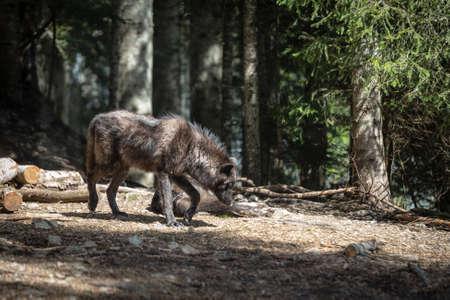 An European Black Gray wolf