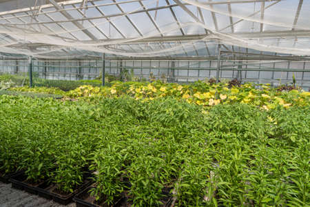 Young pepper cultivation in seed trays