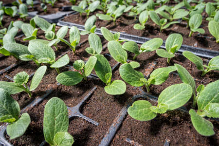 Young squash cultivation in seed trays 版權商用圖片