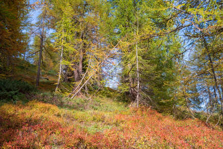 Autumn forest with larch, spruce and pine trees