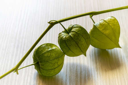 Immature green fruit husk of the Chinese lantern