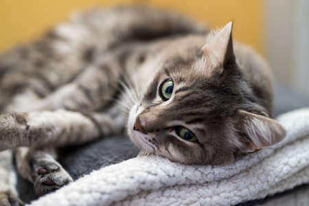 Portrait of cat lying on top of a couch Stock Photo