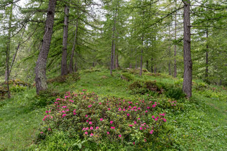 Rhododendron flowering in a larch forest  in Ligurian Alps, Liguria Region, Province of Imperia, Northwestern Italy