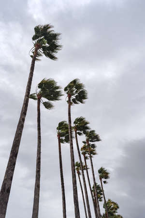 Palm trees on background of cloudy sky with strong wind storm
