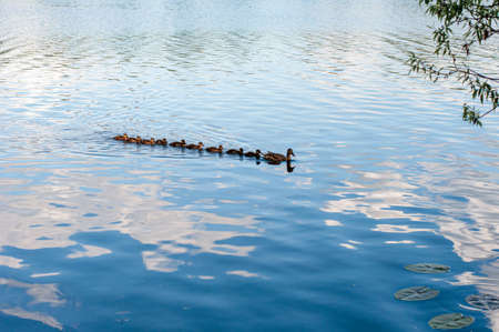 Wild ducks in a natural habitat. Wild duck with ducklings. Water surface of a forest lake. River.