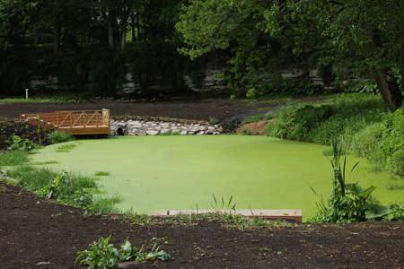 duckweed: duckweed on the pond Stock Photo