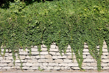 twined: Old wall twined by grapes and other plants Stock Photo