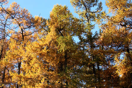yellowing: Yellowing trees in the Park