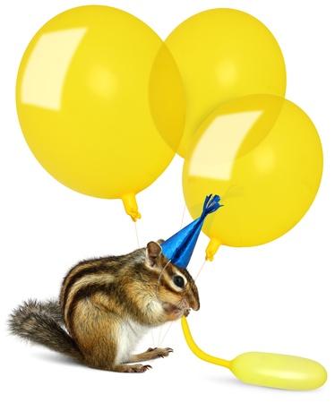 Funny chipmunk inflating yellow balloons, wearing birthday hat Stock Photo