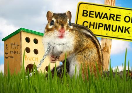 ridicolo: Ridicolo chipmunk dannoso, concetto di protezione Archivio Fotografico
