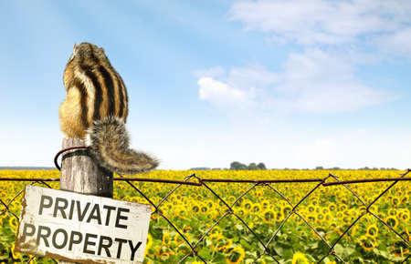 ardilla: Chipmunk sentado en una valla cerca de campo de girasoles, el concepto de interdicción Foto de archivo