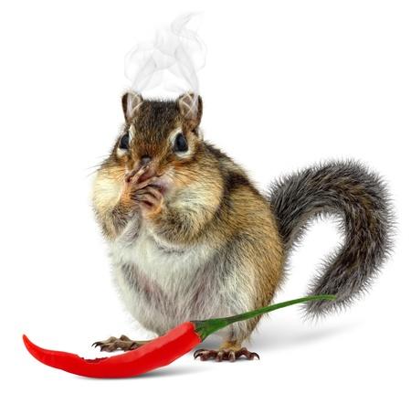 ardilla: Ardilla divertida de comer pimienta caliente, sobre fondo blanco Foto de archivo