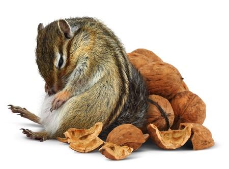 Eccesso di cibo chipmunk divertente con noci, concetto di dieta