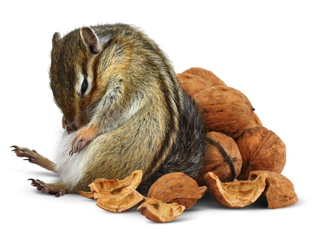 Funny overeating chipmunk with nuts, diet concept Stock Photo