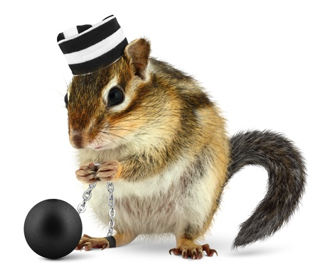 Funny criminal chipmunk in prison hat, isolated on white photo
