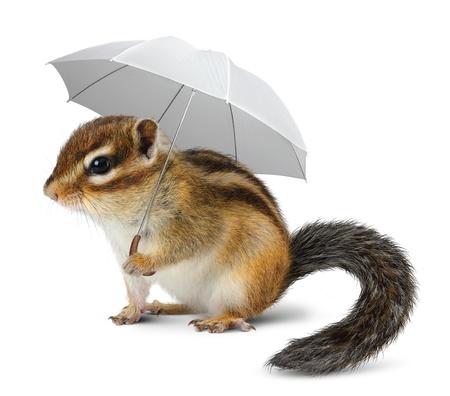 ardilla: Ardilla divertida con el paraguas en blanco concepto del tiempo, Foto de archivo