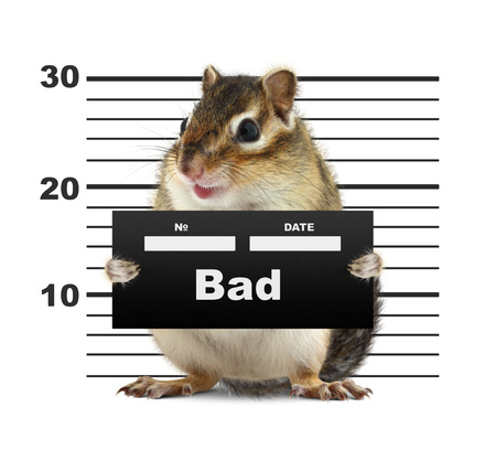 animal photo: mugshot background with rodent, bad animal concept Stock Photo