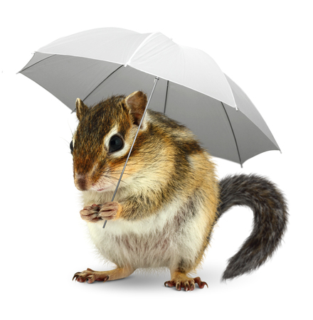forecaster: Funny squirrel  under umbrella on white, weather creative concept on white