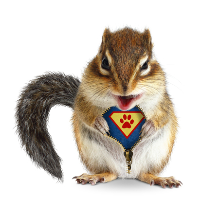 Funny animal super hero, squirrel unbuckle his fur, isolated on white