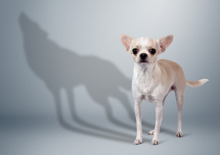 Chihuahua dog with wild wolf shadow, animal character concept Stock Photo
