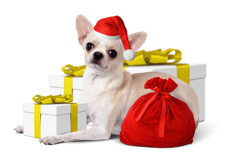 Chihuahua Dog with santa hat and yellow gift box, Christmas concept