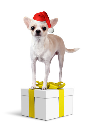 Chihuahua Dog on yellow gift box with santa hat, Christmas concept