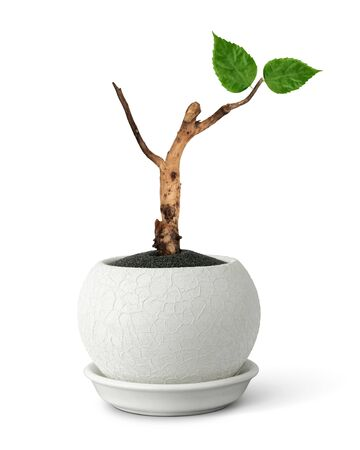 rebirth concept, pot with old branch and young leaves on white 版權商用圖片
