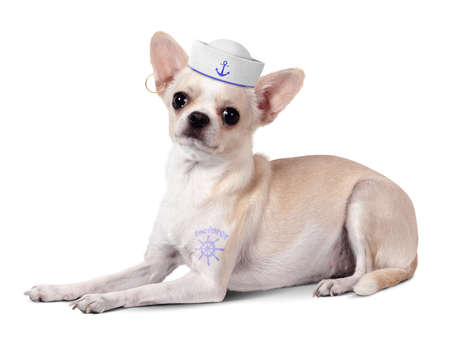 Funny animal sailor, dog with and mariner hat on white