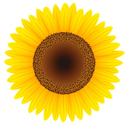 sunflower isolated: Girasol aisladas sobre fondo blanco