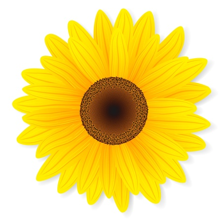 sunflower isolated: Sunflower isolated on white background