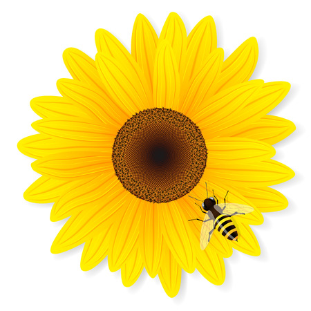 Sunflower and bee isolated on white background. Vector illustration.