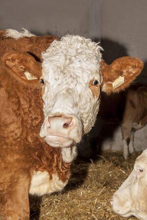 Cows on the farm Banco de Imagens