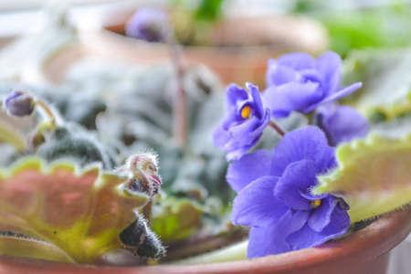 Flower violet blue.Flowers of violet in a pot