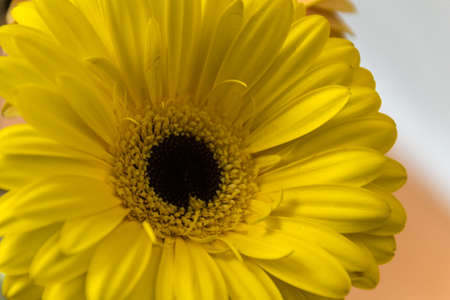 close-up of the yellow flower gerbera: it is a genus of herbaceous plants of the Asteraceae family originating from Africa, Asia and South America. Flowers