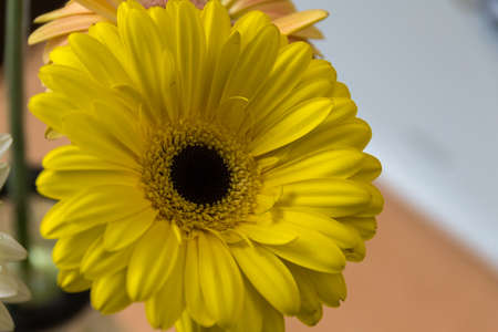 Close-up of the yellow flower gerbera: it is a genus of herbaceous plants of the Asteraceae family originating from Africa, Asia and South America. Flowers Stock Photo
