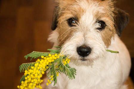 Cane jack russel terrier con un rametto di mimosa. Animali.