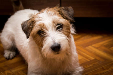 Close-up of Terrier Panting Jack cleared, home background. HD Stock fotó