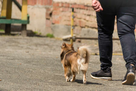 A happy red-headed puppy runs next to the host for a walk. A man walks down the street with his little dog. The concept of growing a pet. Chihuahua breed. Dressura.