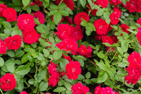 A large bush is a scarlet ground-cover rose. Huge flowers. Gardening. Nature
