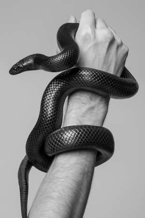 The king's snake Nigrita surrounds the male hand. Black and white photo